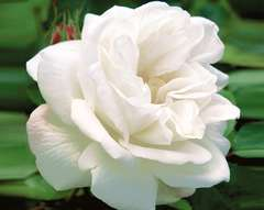 Rosier buisson blanc 'Winchester cathedral' : pot de 5 litres