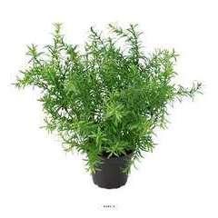 Asparagus artificiel en pot H 30 cm