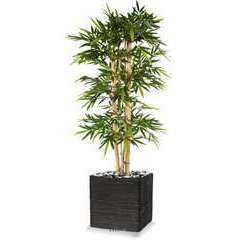 Bambou New grosses cannes H 210 cm 1664 fe