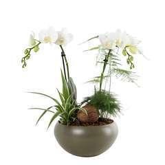Composition Phalaenopsis 2 tiges : pot Ø21 cm