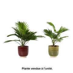 Livistona rotundifolia, cache-pot céramique Ø14 cm