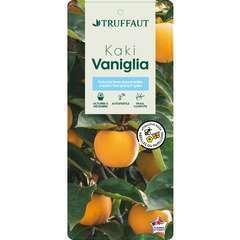 Kaki 'Vanille' 1/2T pot 15L
