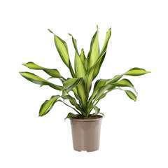 Dracaena 'Charley':H 90 cm pot D24 cm