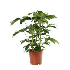 Schefflera Amate pot D24XH100cm