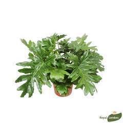 Philodendron selloum:H 120cm pot D40cm