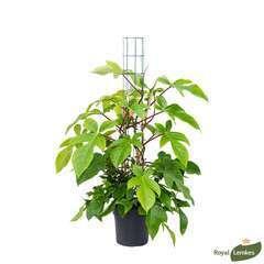 Philodendron Squamiferum, pot Ø30 cm