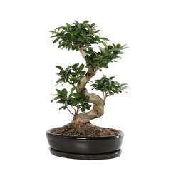 Ficus 'Giseng', pot céramique Ø35 cm