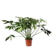 Philodendron 'Green Wonder':H 120cm pot D40cm
