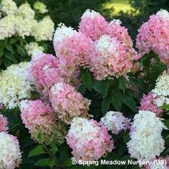 Hydrangea paniculata 'Pinkachu' : pot 4 L
