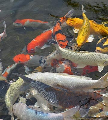 poisson bassin