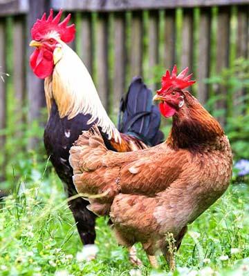 La taille de la poule est un élément principale