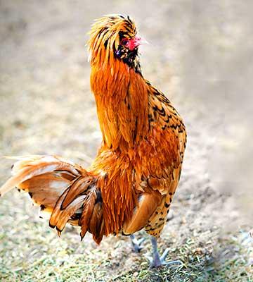 Poule d'ornement au plumage coloré