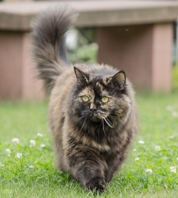 chat british Longhair ou Shorthair