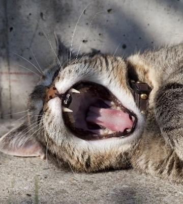 Conséquences du tartre chez le chat