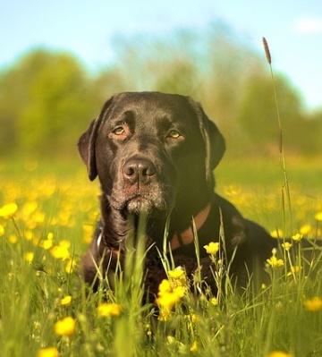 labrador race chien surpoids