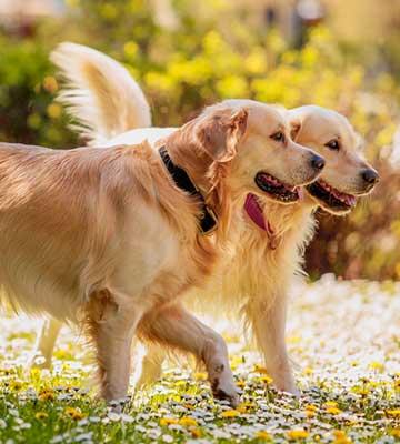 La sociabilisation du chien