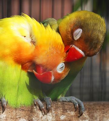 Couple de perruche
