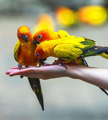 Trio de perroquet coloré