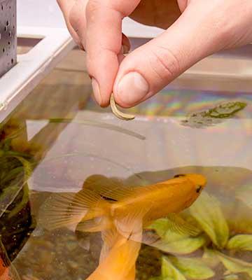 Alimentation naturelle poissons rouges