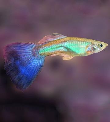 poisson guppy eau douce
