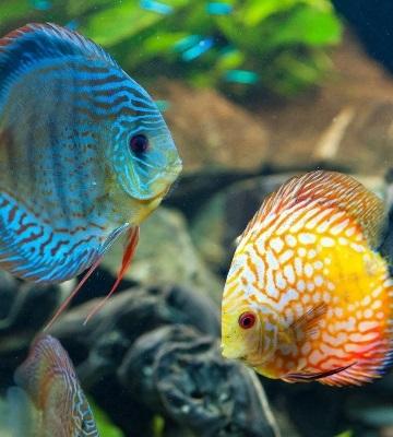 discus aquarium amazonien