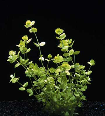 plante aquarium : micranthemum