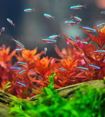 poissons néon