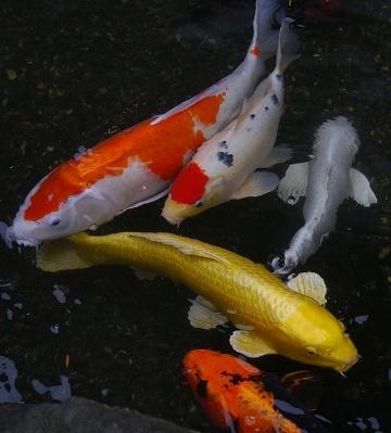 carpes koi bassin