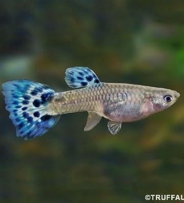 guppy femelle