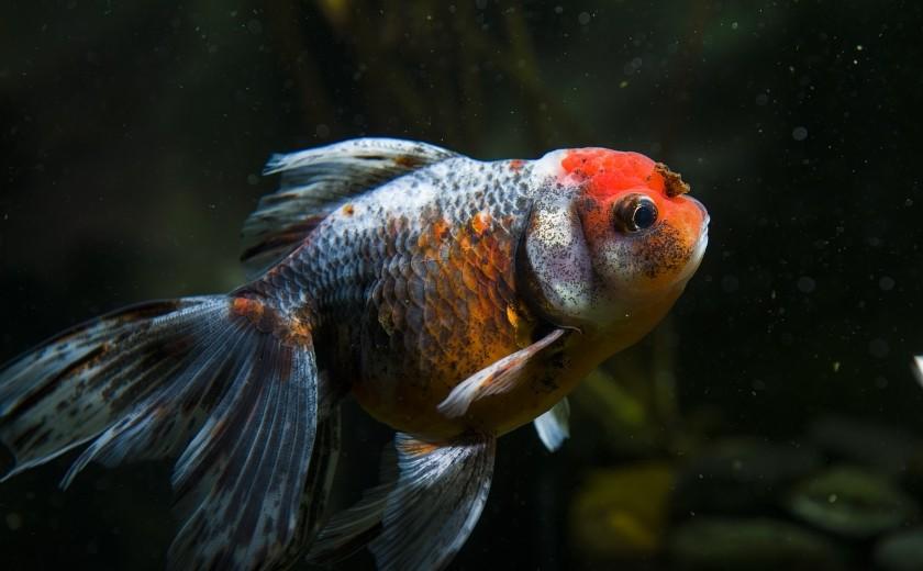 poisson rouge japonais oranda