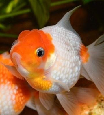 poisson rouge japonais pearl scale