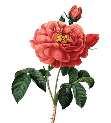 Fleur de Redoute