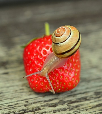 escargots mollusques nuisibles