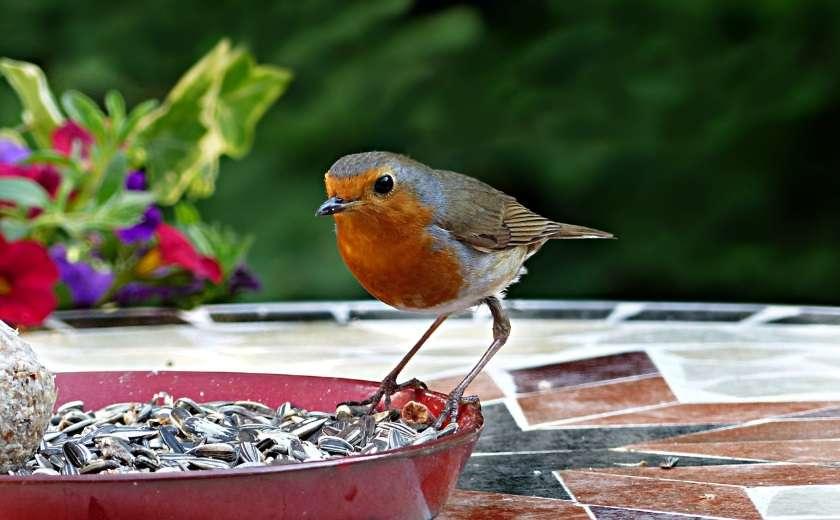 oiseaux nuisibles au jardin