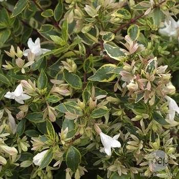 abelia grandiflora sunshine daydream
