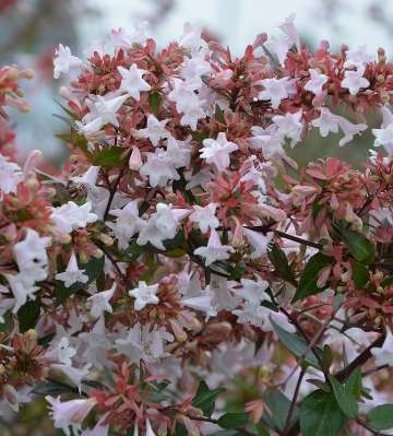 fleurs ablelia