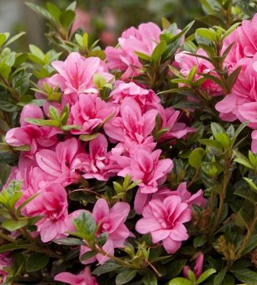 azalea japonica encore
