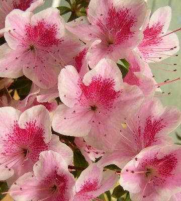 azalea japonica ho oden