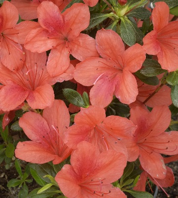azalea japonica orange beauty