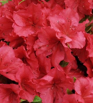 azalea japonica vuyks scarlet