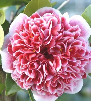 camellia x volunteer