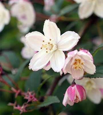 fleur deutzia