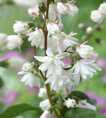 fleur deutzias