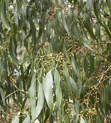Eucalyptus dalrymplean