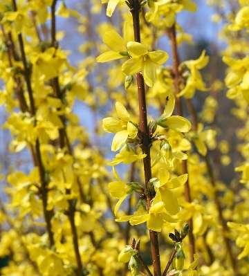 fleurs forsythia