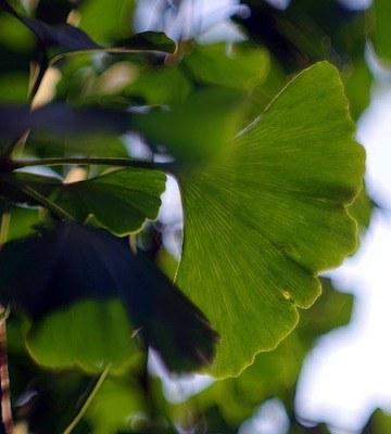 Ginkgo biloba 'Mariken' feuilles