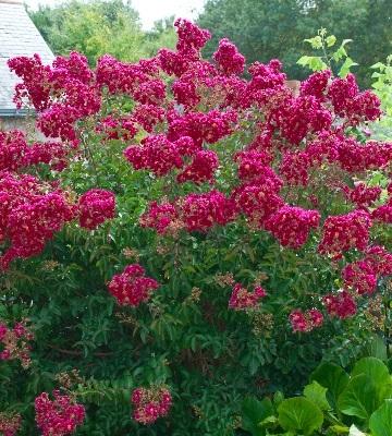 lilas des indes petite red