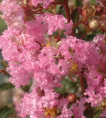 lagerstroemia lilas rose