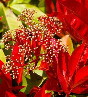 fleur photinia