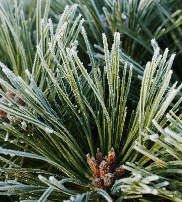 pinus nigra pierrick bregeon